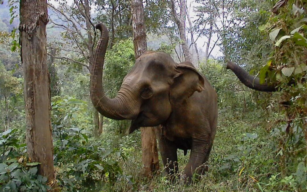 Siam, a rescued asian elephant with her trunk raised in her new home in the jungle